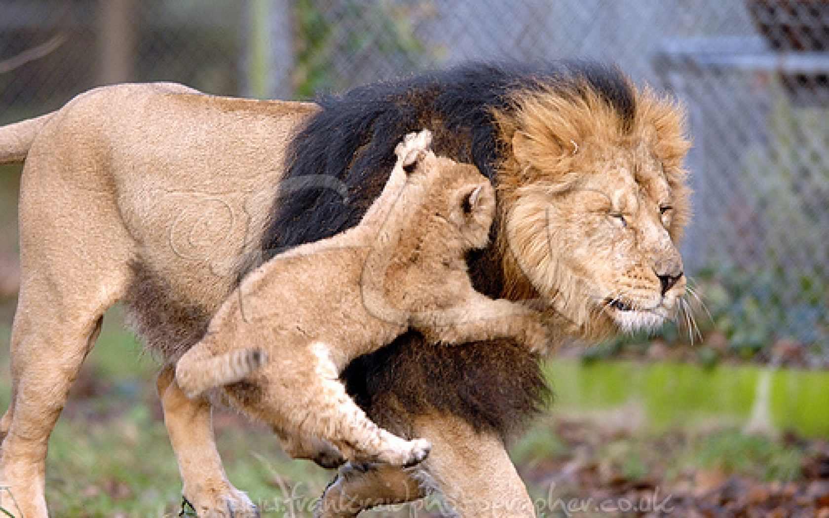 My favorite animal lion essay