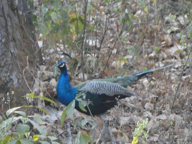 A peacock in Pench National Park
