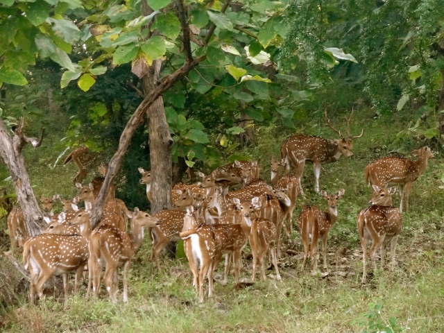Numerous deer at the Panna National Park