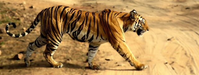 Tigress in Bandhavgarh